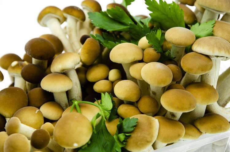 Funghi Pioppini - Az. Agr. Begnoni